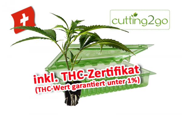 CBD-Hanfsteckling - CBD Therapy - 0,25% THC (inkl. THC-Zertifikat)